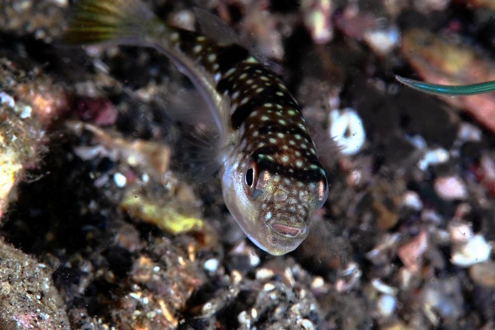 コモンフグ Takifugu poecilonotus
