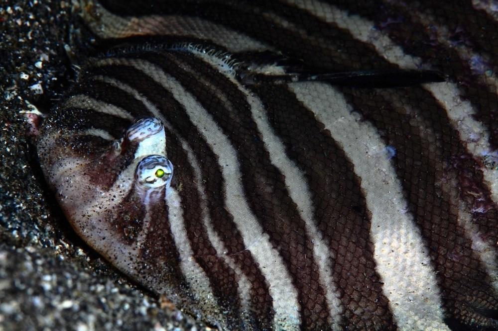 シマウシノシタ Zebrias zebra