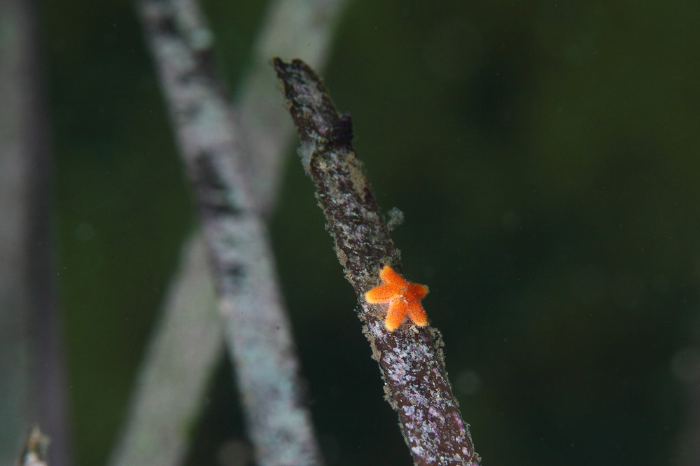 陸奥湾のアマモとヒトデの幼生