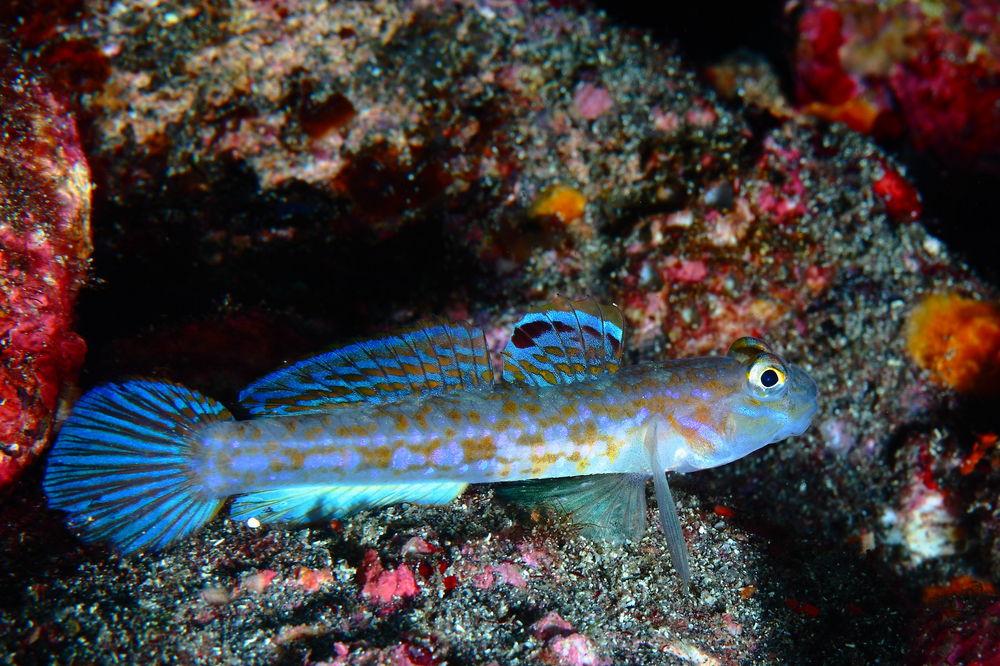 ホシノハゼ Istigobius hoshinonis