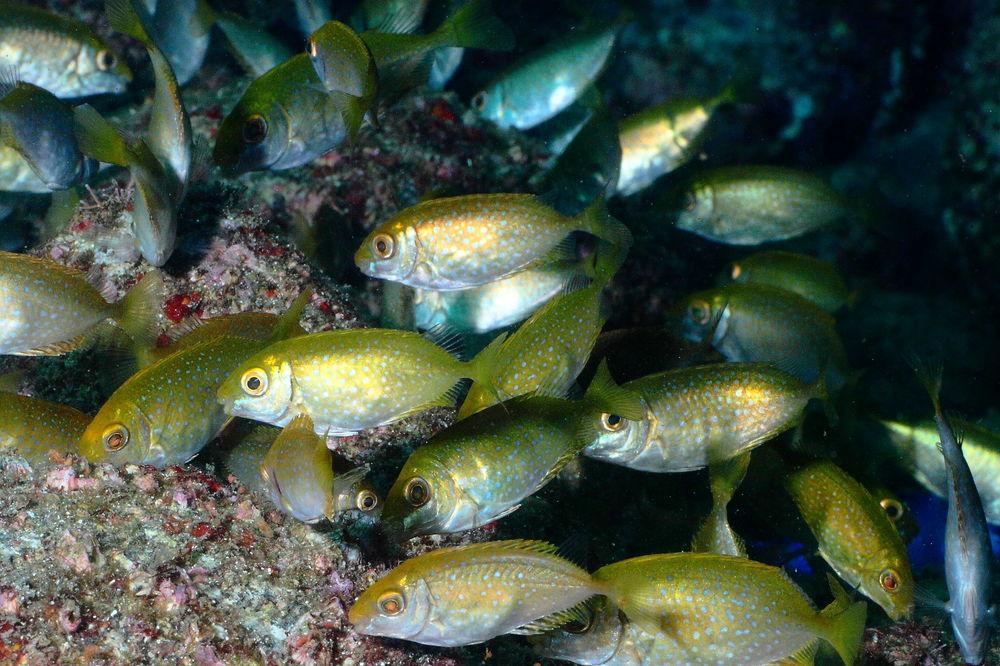 アイゴ 藍子 Siganus fuscescens