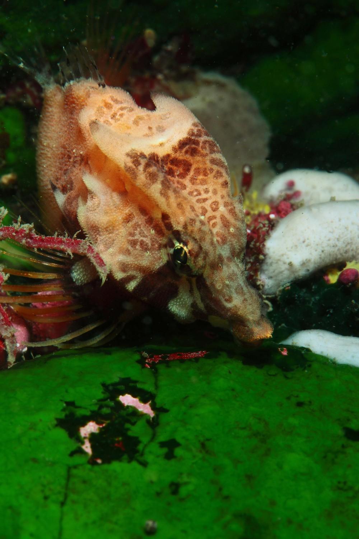 クチバシカジカ Rhamphocottus richardsonii