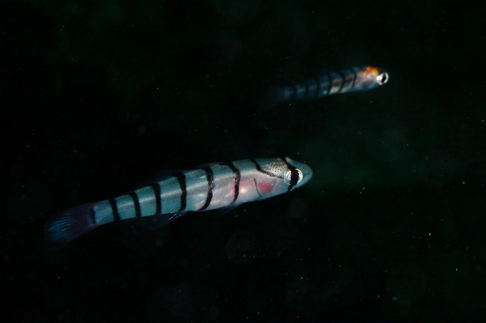 キヌバリ Pterogobius elapoides