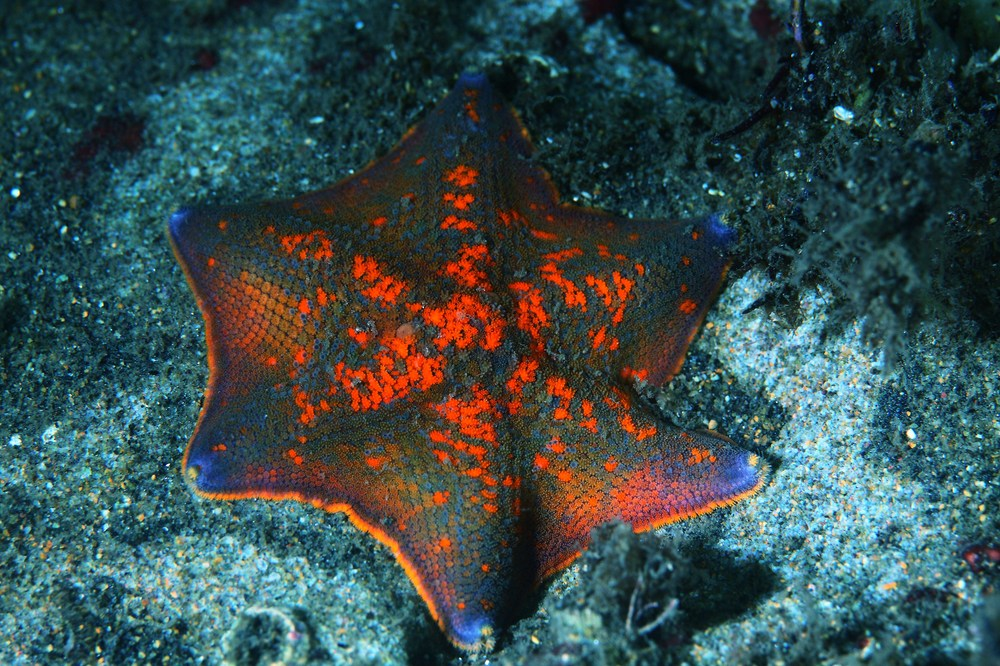 イトマキヒトデ 糸巻海星 Asterina pectinifera
