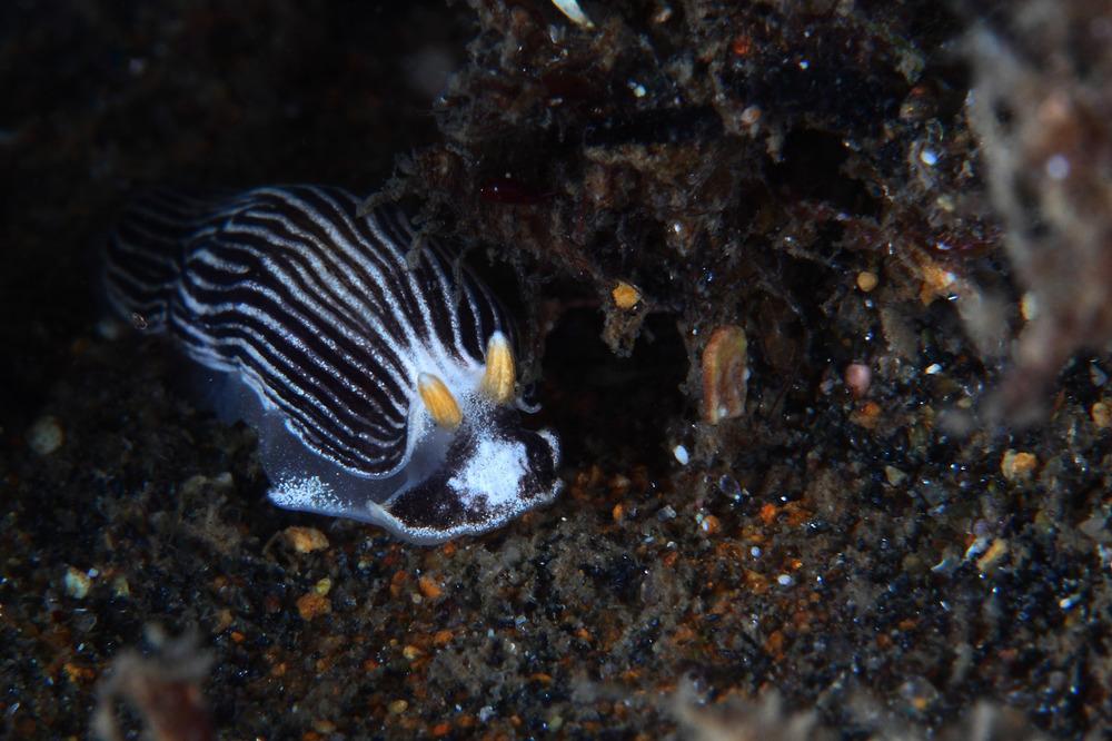 タテジマウミウシ属の一種 Armina sp.