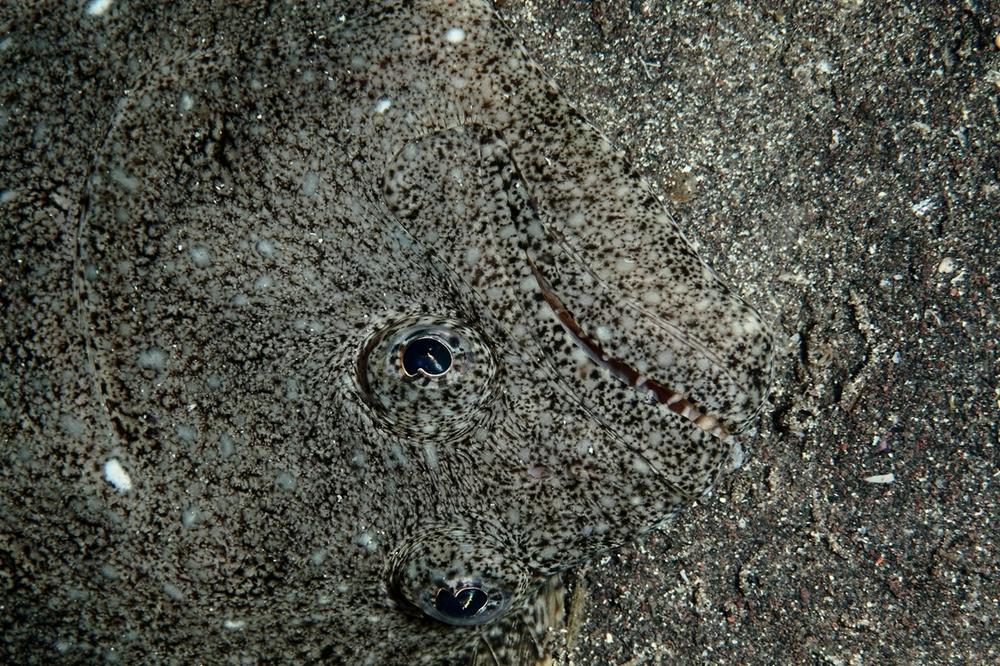 ヒラメ,Paralichthys olivaceus