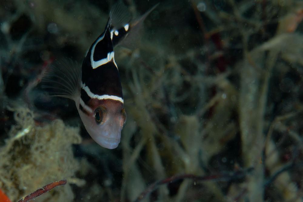 イヤゴハタ Epinephelus poecilonotus