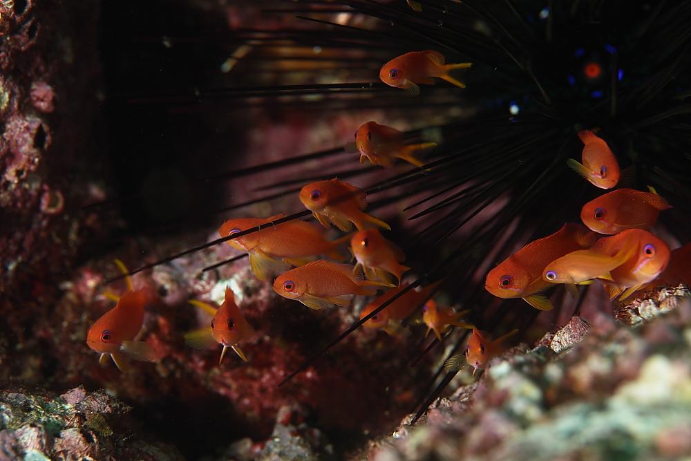 キンギョハナダイ Pseudanthias squamipinnis 幼魚