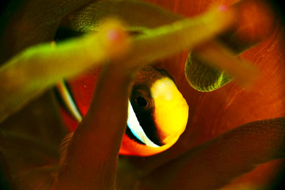 クマノミ Amphiprion clarkii