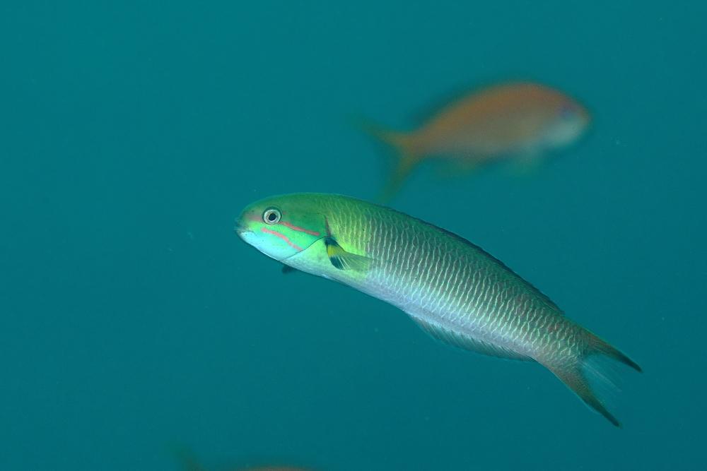 コガシラベラ Thalassoma amblycephalum