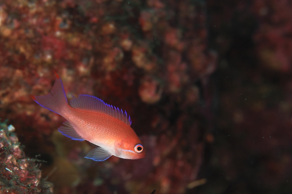 アカオビハナダイ Pseudanthias rubrizonatus
