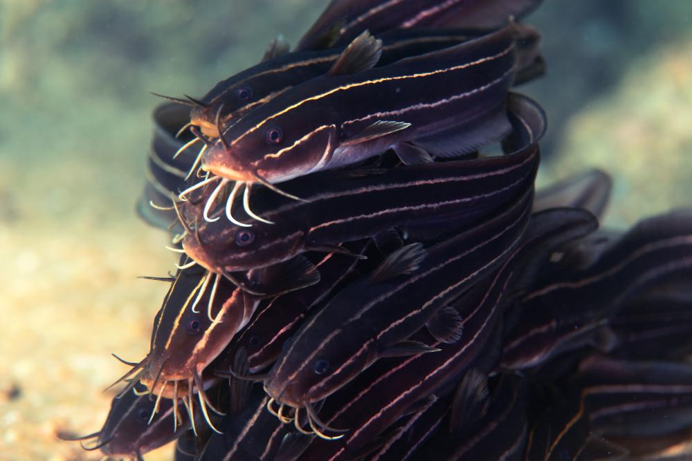 ゴンズイ 権瑞 Plotosus japonicus