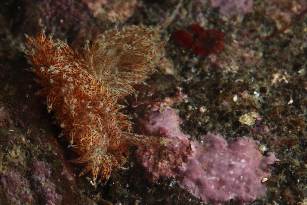 タマガワコヤナギウミウシ Janolus indicus
