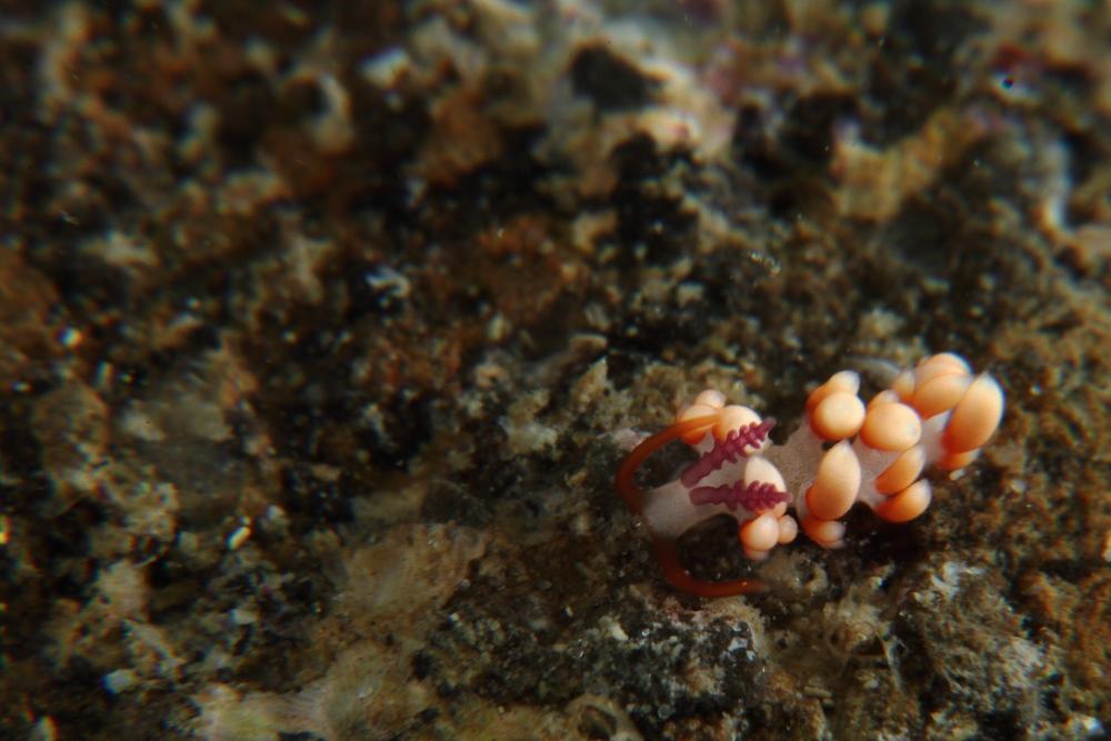 サキシマミノウミウシ属の一種  Flabellina sp.