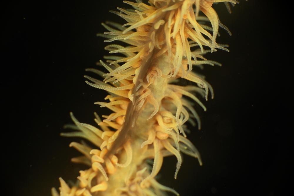 ムチカラマツ Cirripathes anguina