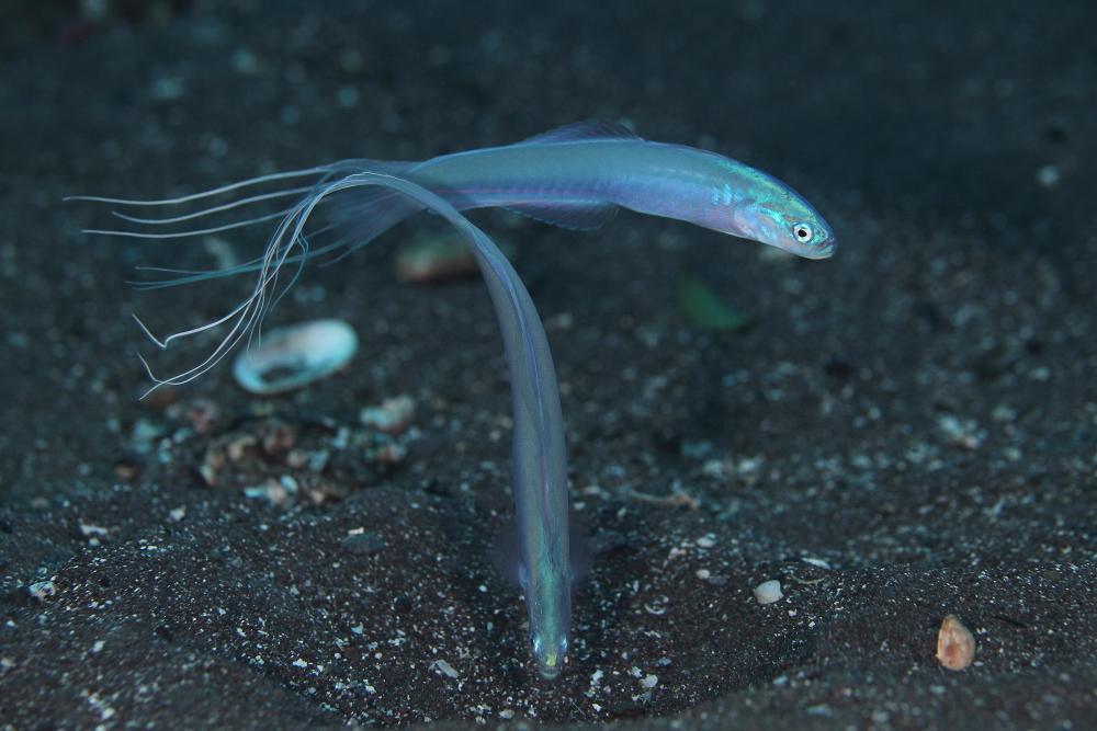 ハナハゼ Ptereleotris hanae
