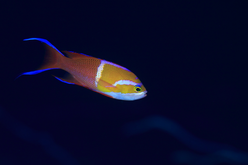シロオビハナダイ (婚姻色)Pseudanthias leucozonus