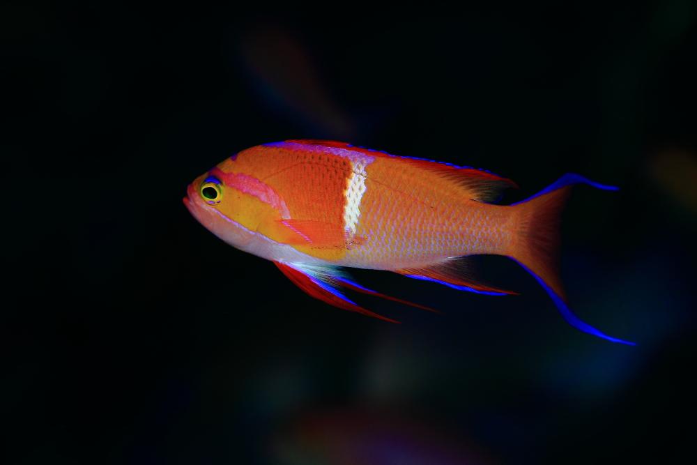 シロオビハナダイ Pseudanthias leucozonus