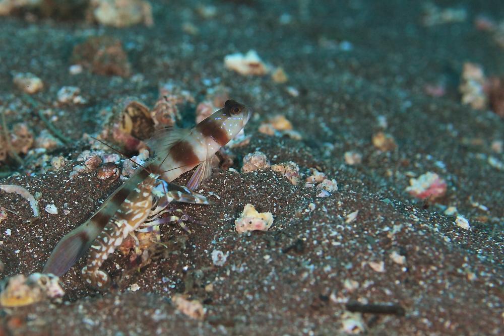 ダテハゼ Amblyeleotris japonica