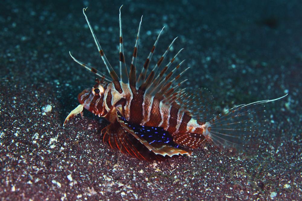 セトミノカサゴ Astrocottus matsubarae