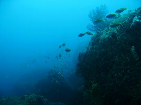 初島のタカベラッシュ